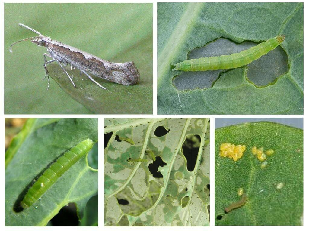 Seeking diamondback Moth (DM) Control Technologies