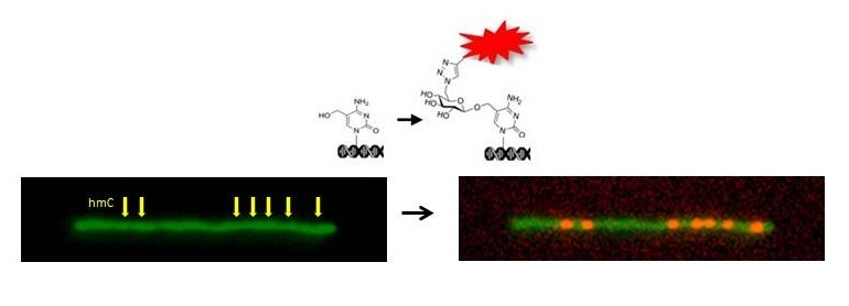 Optical Labeling and Detection of Hydroxymethylcytosine – a BioMarker for Cancer