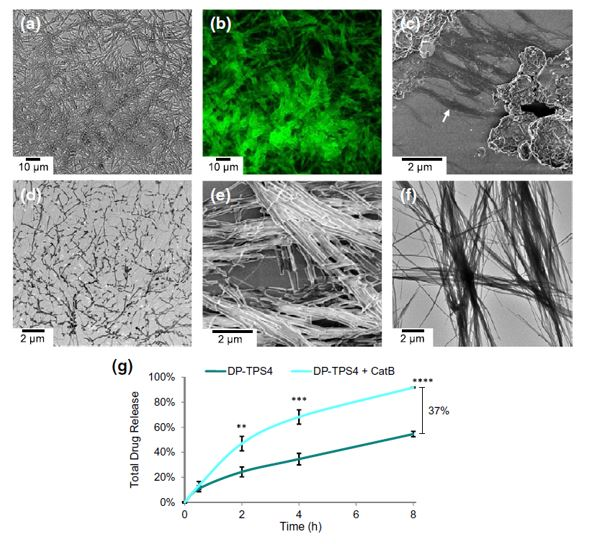 Targeted Drug Delivery by Cathepsin Nanofiber Substrates