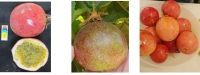 GILIS (280-15) Extra Large, Attractive Passion-Fruit Cultivar